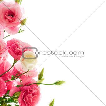 Beautiful Eustoma Flowers on the White Background
