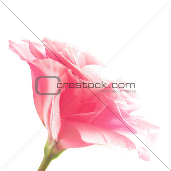 Beautiful Eustoma Flower on the White Background