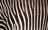 Zebra fur texture background