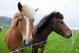Chestnut Icelandic Horses