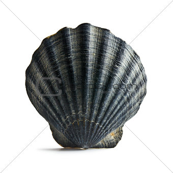 black sea shell