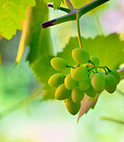unripe grape in vineyard