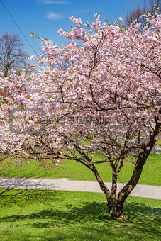 blossoming apple tree in a park