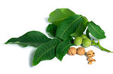 Walnuts and branch with leaves white isolated