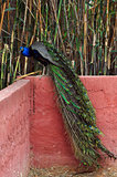 peacock with colorful plumage