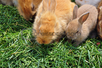 rabbit family feeding on grass