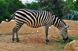 zebra feeding on grass