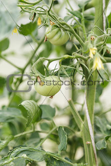green greenhouse tomatoes growing on bush