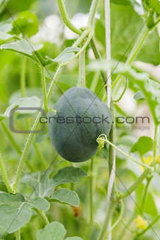 small watermelon hanging on plant