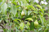 growing pears on the tree