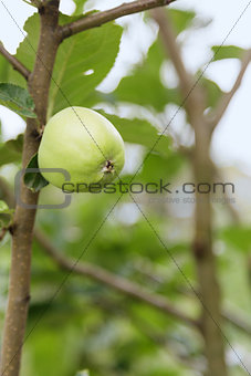 growing apple on the tree