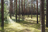 summertime in tranquil pine forest