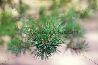 close up photo of pine branch