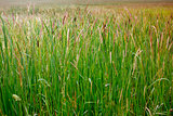 Many cattails in a swamp