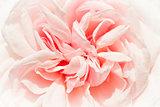 Historic rose -  Souvenir de la Malmaison