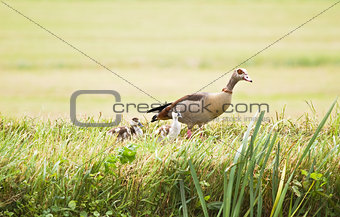 Egyptian goose with ducklings