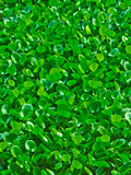 Green Water hyacinth
