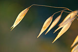 Dry oat plant