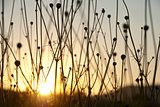 Dry grass silhouettes in sunset