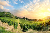 Vineyard on sunset
