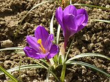 flowering crocuses