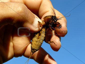 mole cricket in hand