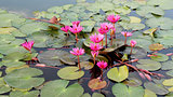 colorful lotus