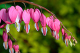 Pink flower. Lamprocapnos/Dicentra-Bleeding Heart