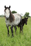 Fell pony mare with foal