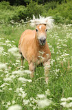 Nice haflinger running in freedom
