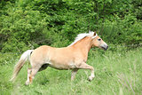 Chestnut haflinger on pasturage