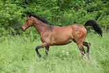 Brown horse running on pasturage
