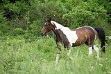 Skewbald horse running
