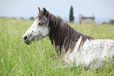 Nice grey fell pony mare lying down