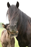 Nice fell pony mare with foal