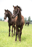 Two friesian foals, one with halter, standing on pasturage