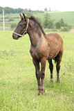 Friesian foal standing on pasturage