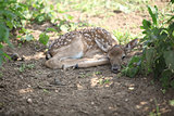 Young small buck lying down