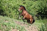 Nice brown horse running uphill