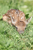 Young small buck hiding in the grass