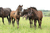 Friesian foals on pasturage