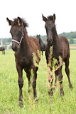 Two friesian foals on pasturage behind some vegetable