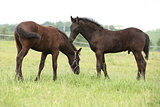 Two friesian foals standing on pasturage