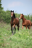 Two young horses running in freedom