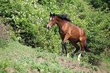 Nice young horse running uphill