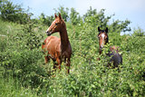 Two young horses hiding behind some bushes