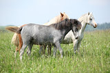 Welsh ponnies in high grass