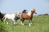 Welsh ponnies running together