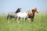 Three welsh ponnies moving