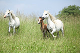 Welsh ponnies running